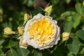 Rose senteur